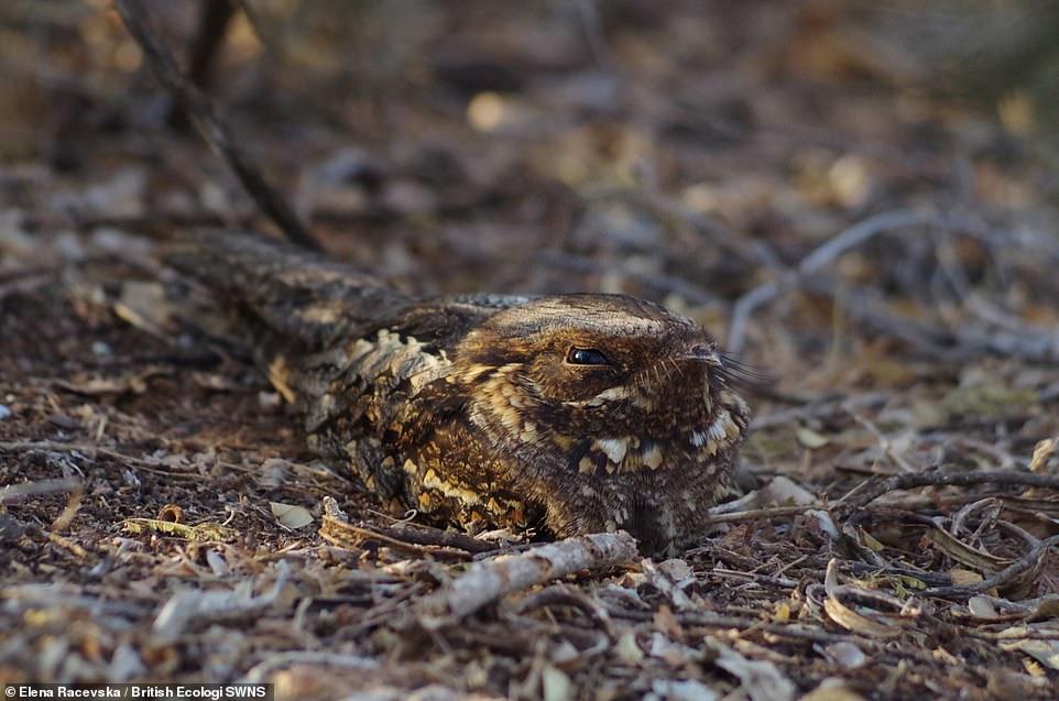 I see You -Elena Racevska.A Madagascan nightjar (Caprimulgus madagascariensis), having a daytime rest. Student winner Individuals and Populations