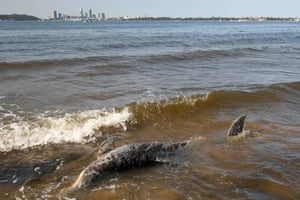 The dolphin stranded on the beach, with Perth in the background.