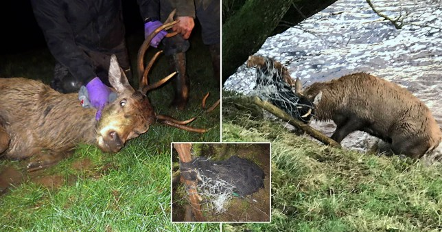 Three RSPCA officers, a vet and a farmer worked together to free a huge stag who has tangled its antlers in fencing and fallen into River Lyne in Longtown, Cumbria.