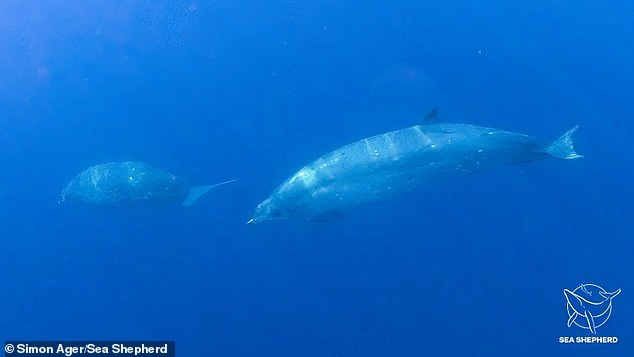 Photographs of the new species of beaked whale. The fact it is previously unknown to science was indicated by the position of its tusks and its echolocation signals