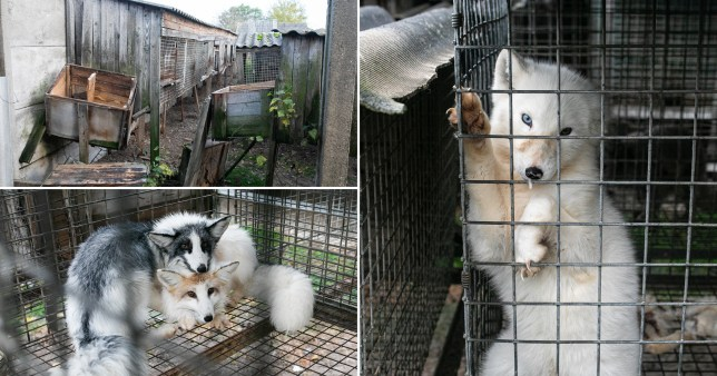 Horrific images show conditions on Polish fur farm amid fresh calls for ban Picture: Open Cages