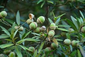 Quercus bambusifolia oak.