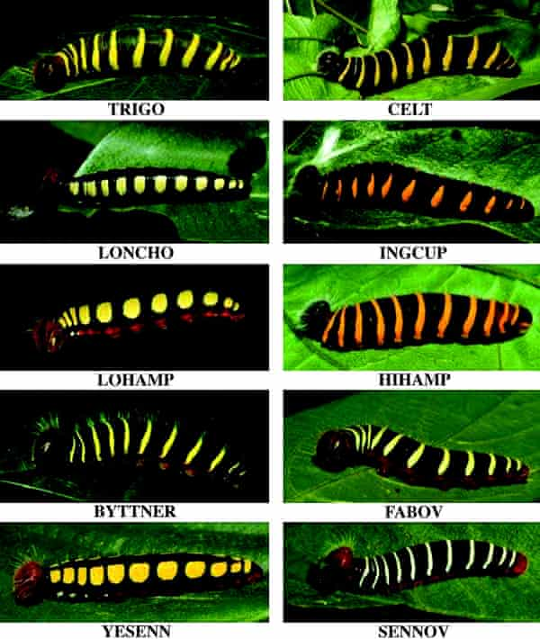 The diversity of two-barred flasher caterpillars, pictured, was a clue to their eventual unmasking as at least ten distinct species.