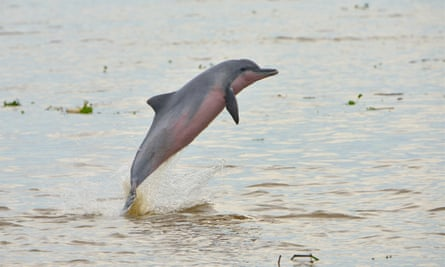 Tucuxi dolphin numbers are suffering from increasing use of gill nets in the Amazon.