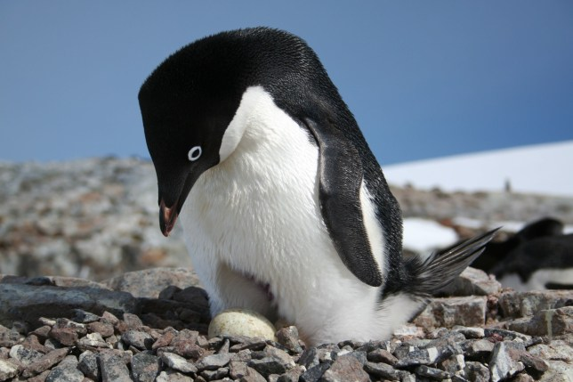 Breeding Antarctic penguins could be helped by a proposed network of marine protected areas (MPAs),