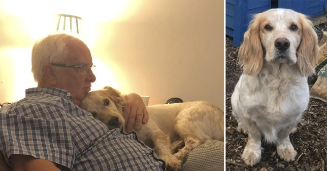 Mike Jasper, 66, has been left devastated after Sprocker Spaniel Ted was stolen in Cannon Hill Common.