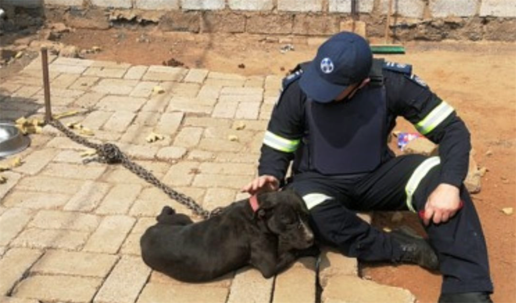 An NSPCA inspector with one of the rescued fighting dogs.