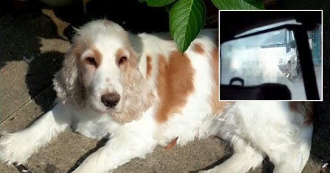 Pensioners 'devastated' after thief snatches cocker spaniel from outside home