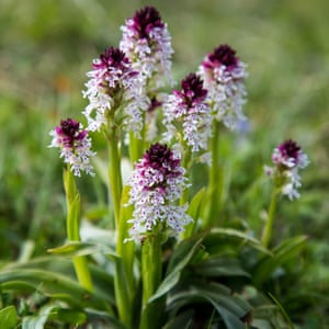 Endangered burnt-tip orchids, found on Martin Down.