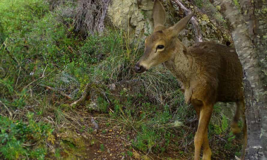 A south Andean deer,