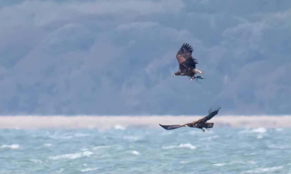 White-tailed eagles have been reintroduced to the Isle of Wight.