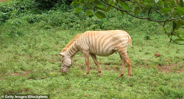 A team from the University of California, Las Angeles conducted DNA tests on 140 plains zebras – including seven with odd coat patterns – from nine national parks in Africa