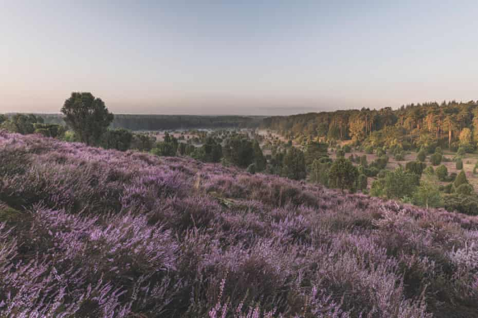 Lüneburg Heath, Lower Saxony, Germany.