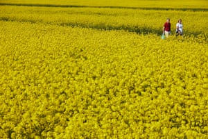 14 April – People taking their daily exercise past a field of oilseed rape at Rainford, Merseyside, as lockdown measures continue