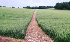 path rising across oatfield.