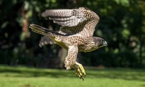 Release of the peregrine falcon on Boxing Day 2020.