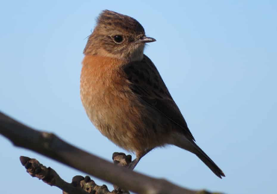 A female stonechat pictured in Cambridgeshire last week.