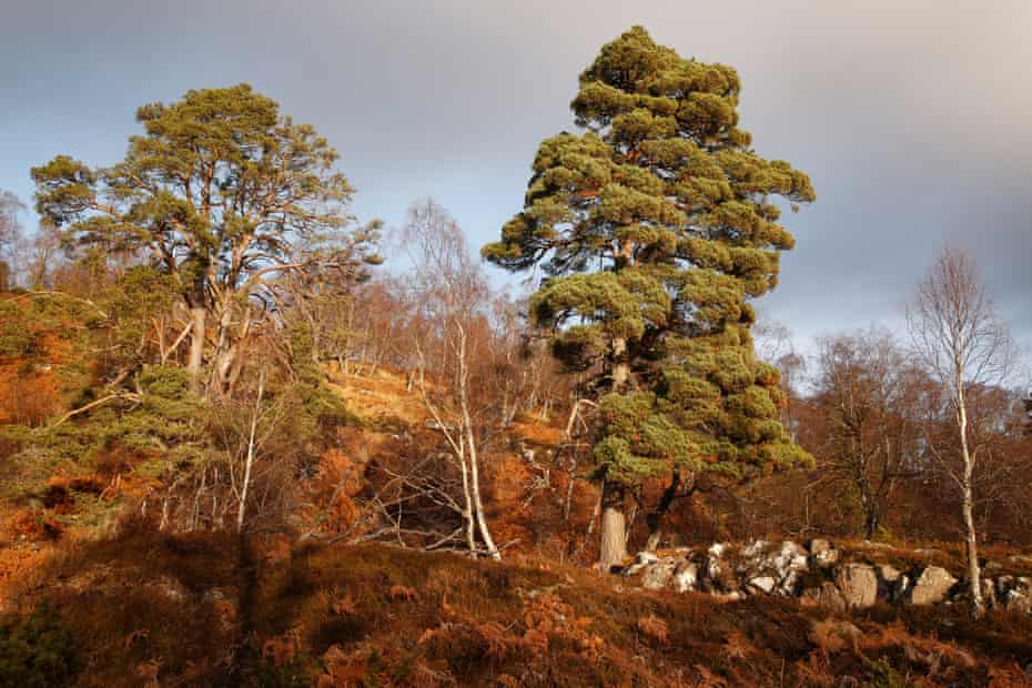 Dundreggan has been rewilded by Trees for Life since it purchased it in 2008.