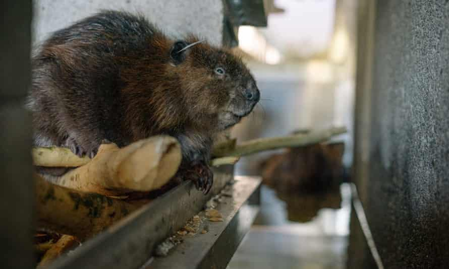 Beavers caught from around the Seattle area stay at the Tulalip, Washington, fish hatchery as a sort of halfway house between capture and relocation.
