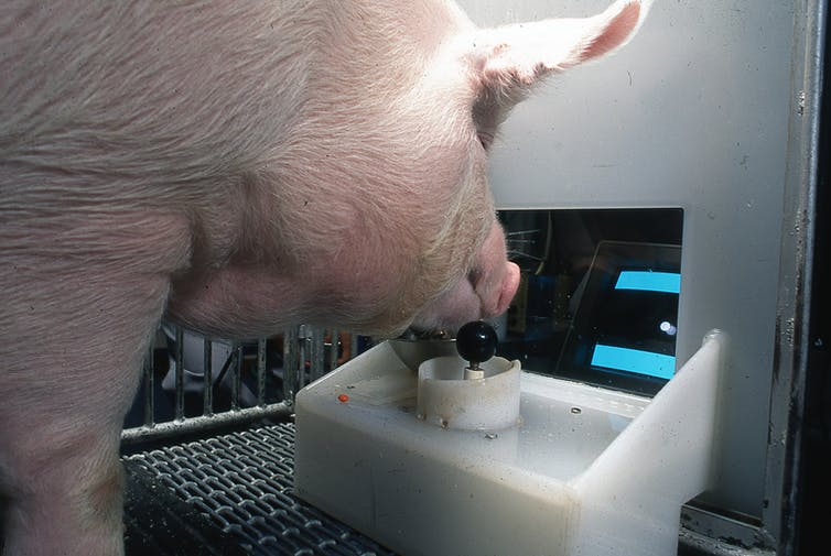 A pig operating a joystick with a computer screen in front of it.