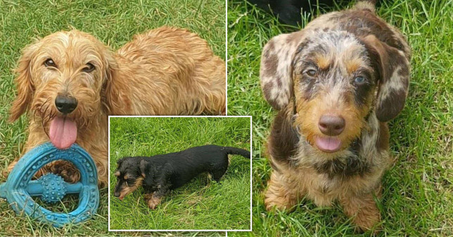 Pictures of the miniature dachshunds that were stolen from Derbyshire