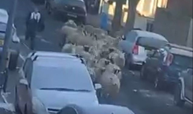 The sheep shown running down the road