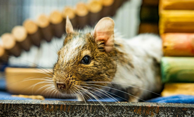 UK's loneliest degu, Greg, is looking for love this Valentine's Day