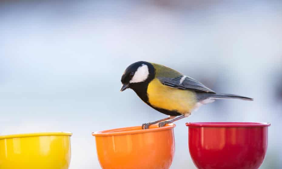 Great tit standing on a colour Cups bird feeder in a winter garden