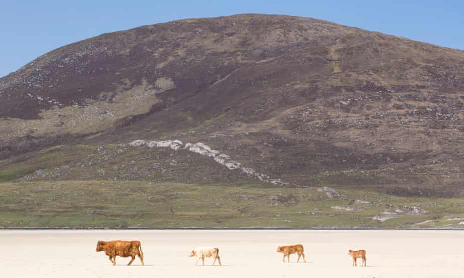 Cows on the beach at Scarista, Isle of Harris
