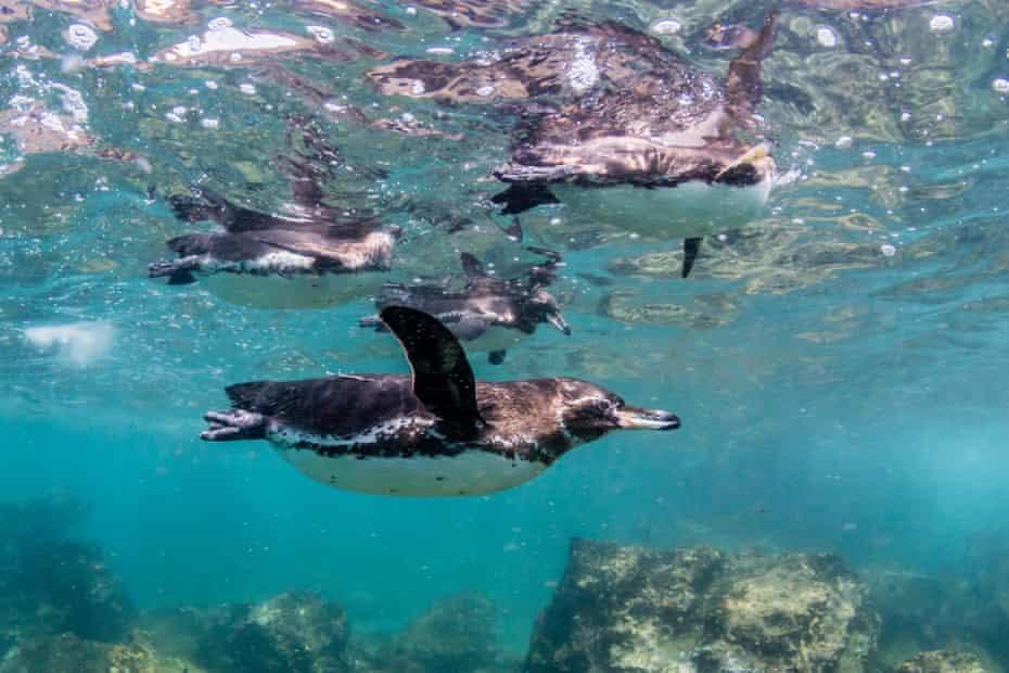 Galapagos penguins at Bartolomé island
