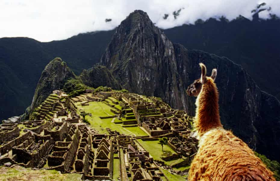 A llama staring down at Machu Picchu, Peru