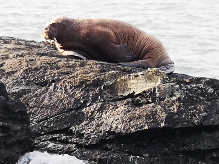 Undated handout photo of the walrus that was spotted by five year old Muireann Houlihan along the coast of Valentia Island, Co Kerry, believed to have drifted over to Ireland from the Arctic. Issue date: Monday March 15, 2021. PA Photo. See PA story SOCIAL Walrus. Photo credit should read: Alan Houlihan/PA Wire NOTE TO EDITORS: This handout photo may only be used in for editorial reporting purposes for the contemporaneous illustration of events, things or the people in the image or facts mentioned in the caption. Reuse of the picture may require further permission from the copyright holder.