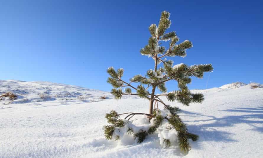 Scots pine seedling in snow, inside dwarf birch exclosure, Dundreggan, Scotland, UK.