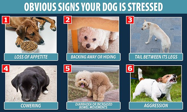 Obvious signs a dog is stressed include a loss of appetite, aggression, having its tail tucked between its legs or backing away from someone or something, Blue Cross says
