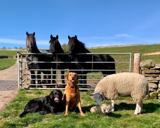 Gilly Chippendale / Caters News (Pictured Bella poses for a pic with some of Gilly's dogs and horses. ) - This ewe-nique sheep was rejected at birth by her mother and now believes she's a dog. Bella, the two-year-old Texel X Lleyn, prefers biscuits to grass, goes on family dog walks and even runs away from other sheep, after being rejected first by her birth mother and then by several other ewes when she was just a baby. Farmer's wife, Gilly Chippendale, took Bella into her care and since then, the friendly sheep has formed an incredible bond with both Gilly and her other pets - seven dogs and one cat - joining them on family walks and picnics and relaxing with them in their beautiful, fortified manor house in Cumbria. Barmy Bella is so convinced she isn't a sheep, she is frightened when other sheep approach her and even runs away from the rest of the herd. - SEE CATERS COPY