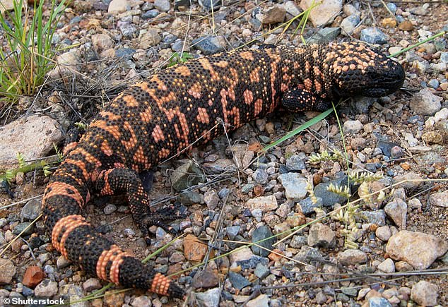 Researchers have compared the odd morphology ofLlukalkan aliocranianus to theGila monster (pictured) - avenomous lizard native to thesouthwestern US