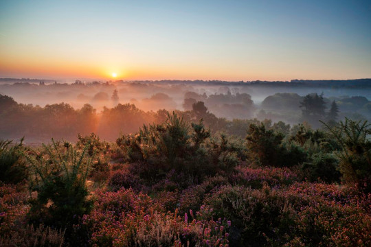 A spectacular sunrise lights up the heather-clad Surrey Hills.