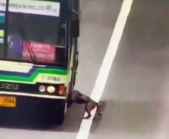 Bangkok, Thailand, March 30, 2021 (photographs, video still)??????NEWS COPY - WITH VIDEO AND PICTURES??????This is the heartwarming moment a lost pet dog stranded on a busy highway was rescued - by boarding a passing BUS. The hungry pooch had been missing for three days before it emerged on the expressway in Bangkok, Thailand, on Tuesday lunchtime (March 30). Bus driver Tuen Prathumthongreceived a radio call warning him to slow down as a dog was posing a danger to passing vehicles. However, the kind driver simply could not ignore the hapless mutt, which was inches from passing vehicles and struggling through the midday sun temperatures reaching 37 C. Tuen pulled over while conductor Noknoi Seedam checked with the 10 passengers onboard the vehicle if they would mind giving the pooch a ride. CCTV captured how the relieved mutt bounded onto the bus when the doors opened. It was then taken back to the depot for fresh food and water before the owner came forward to collect the dog, which she said was named Cookie and two-years-old. Bus conductor Noknoi said: 'We received an alert about the dog in the road so I knew there was a hazard. When we arrived at that position there were cars slowing down, so I realised it was for the dog. 'I checked with the passengers if they would mind if we stopped to collect the dog, as it was in danger. The driver stopped the bus and I called out to the dog to come onboard. 'He was not afraid and ran straight on. He found a seat and laid under it but he did not want to be around people. He did not want to be touched.' The bus arrived at the Muang Thong Thani depot where Cookie napped under a vehicle and was given fresh food and water. Cookie's owner Pachara Yoosawat later came forward to say that her dog had disappeared from a construction site two days before and he had been looking for him ever since. She offered a reward of 5,000 Baht (116 GBP) to the bus service but they declined and suggested it was given to animal rescue g