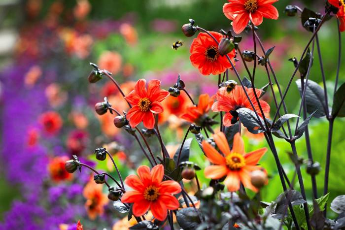 Dahlia Bishop's Children and verbena rigida, top recommendations for the Rich and Brilliant palette