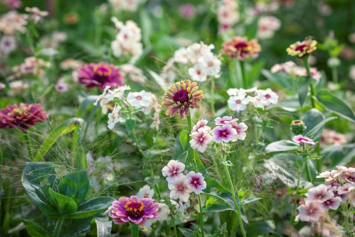 Phlox Cherry Caramel, panicum Sparkling Fountain and zinnia Queeny Red Lime: a lovely mix for the Soft and Warm palette