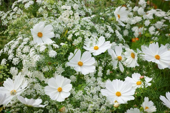 Cosmos Purity with common bishop's weed