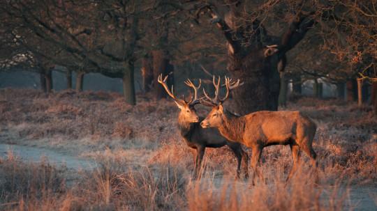 Two deers in Richmond Park