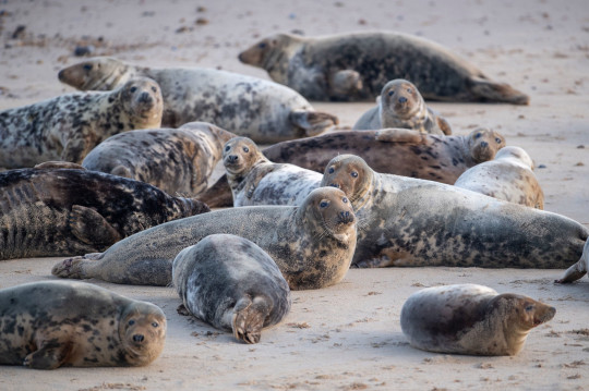 The grey seal colony on the beach at Horsey Gap in Norfolk. The Government has partnered with Seal Alliance to issue new guidance about giving seals space.