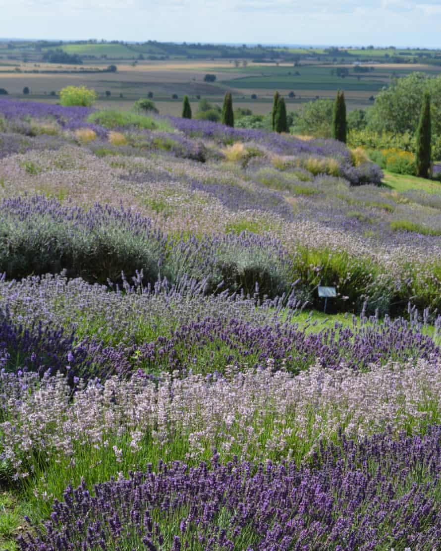 Lavender Farm, North Yorkshire