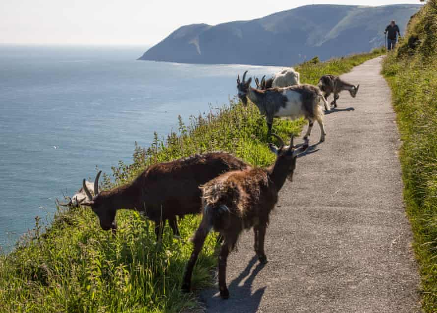 Feral goats on a hilltop path in Devon