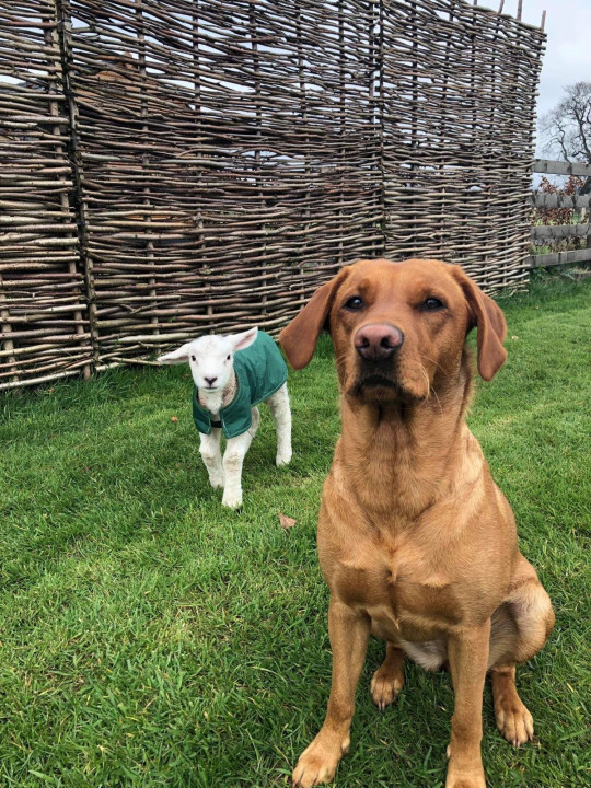 Ronnie the lamb and Lola the labrador