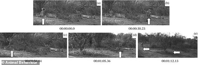 Analysis of 19 lions in South Africa's Makalali Game Reserve found that not only would a cat copy another pride member's yawn, they'd mimic subsequent behaviors, too