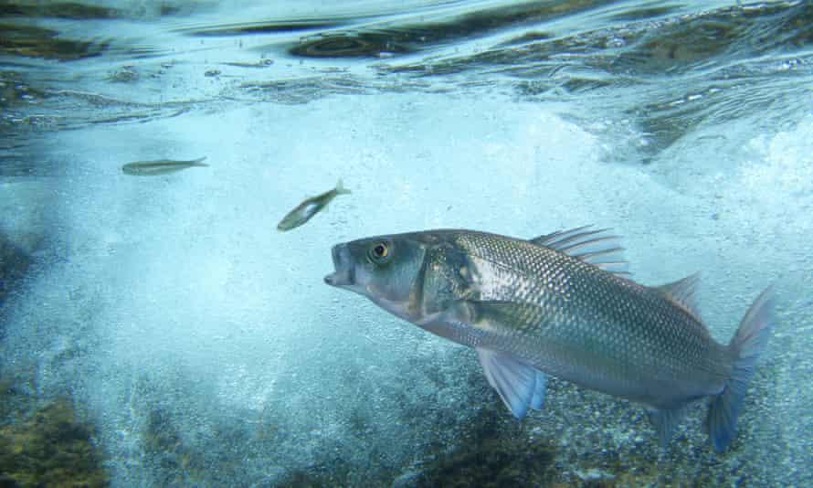 European sea bass.