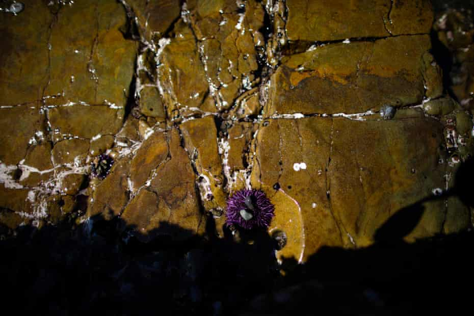 The purple sea urchin population has grown unchecked, contributing to the destruction of the west coast's kelp forests.