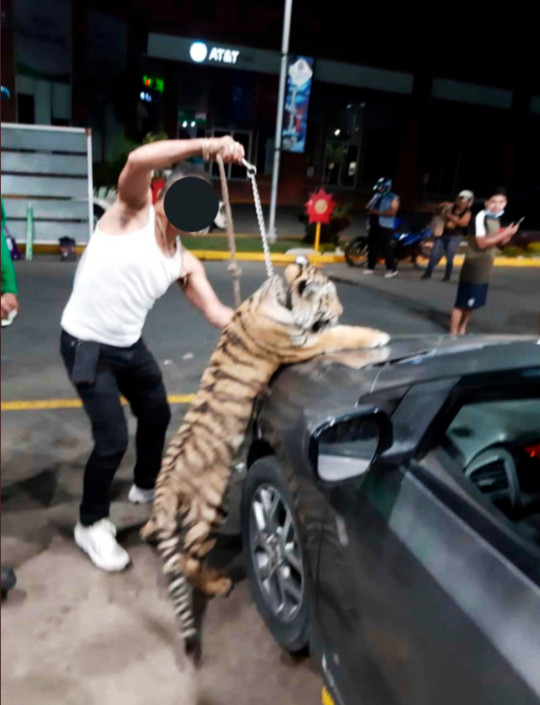 The Bengal tiger in the back seat of a car in Mazatlan, Mexico, April 2021 (@xKelseyG/Newsflash)